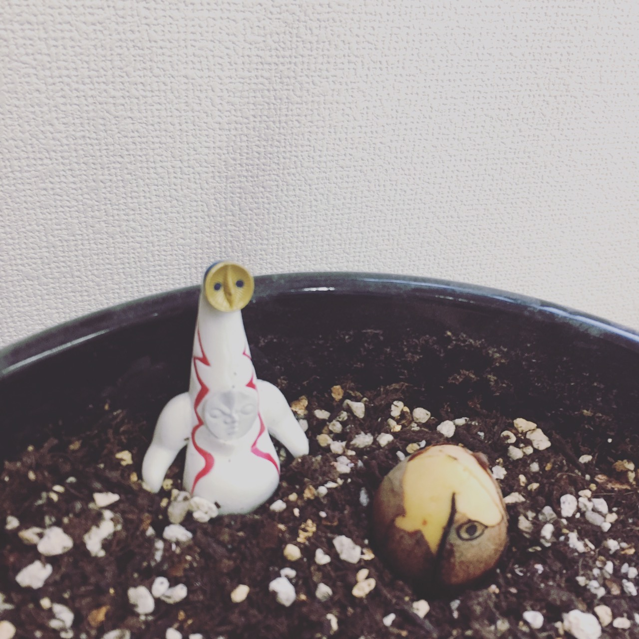 土嚢栽培へと転身したアボカドくん