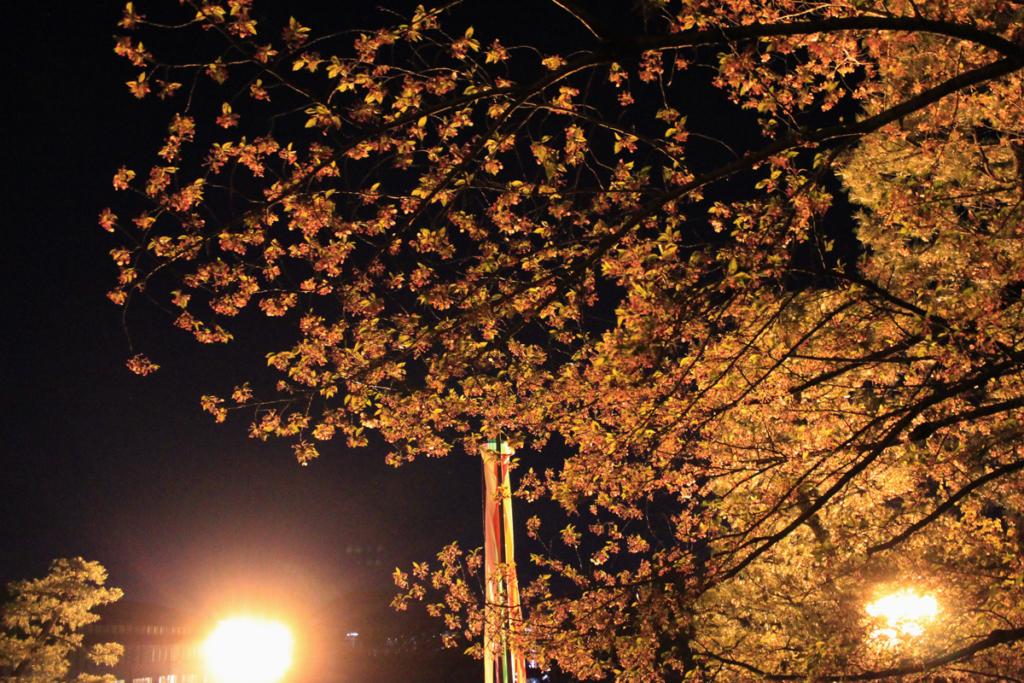 知恩院の夜桜(散り気味)